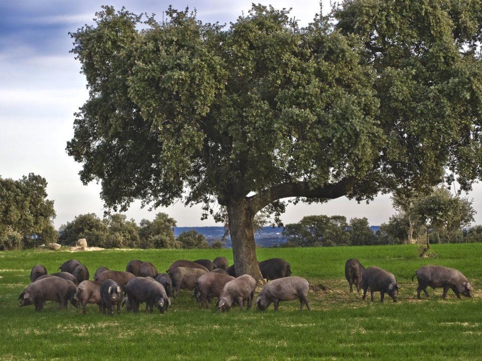 ruta montanera cerdo iberico dehesa tajo internacional